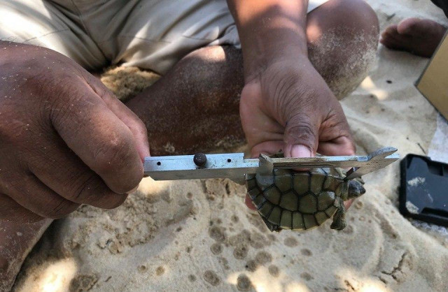 Cambodia Celebrates the Birth of Royal Turtles, One of the World's Most Endangered Species